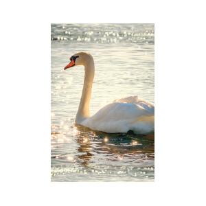 SNAPSHOTZ Swan