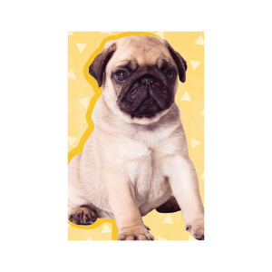 SNAPSHOTZ Yellow Pug
